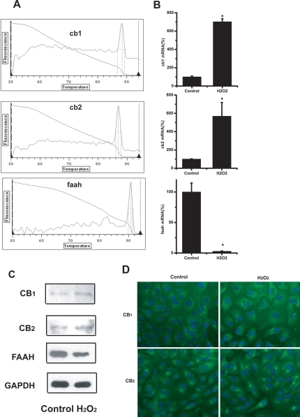 Expression of CB1, CB2, and FAAH mRNA in human primary RPE cells and changes of CB1, CB2, FAAH mRNA and protein expression in 200 μM H2O2-treated ARPE-19 cells compared to untreated ones. A: Expression of CB1, CB2, and FAAH mRNA expression in human primary RPE cells assayed by real time RT–PCR method. B: Changes of CB1, CB2, and FAAH mRNA expression in ARPE-19 cells assayed by real time RT–PCR method. Asterisk (*) represents the correlation significant at the p<0.05 level and suggest a significant increase or decrease in mRNA expression as compared to control group. C: Changes of CB1, CB2, and FAAH protein expression in ARPE-19 cells assayed by western blot method. D: Changes of CB1, CB2 protein expression in ARPE-19 cells demonstrated by immunofluorescent staining.