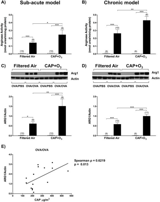 Pulmonary arginase activity and arginase isozyme expression in CAP+O3-exposed mice and filtered air controls. Total arginase activity in FA- and CAP+O3-exposed model OVA/PBS (□) and OVA/OVA (■) mice in the sub-acute (A) and chronic (B) models. Western blotting and quantification of arginase 1 and actin loading controls in the sub-acute (C) and chronic (D) models (*P < 0.05, **P < 0.01, ***P < 0.001, (n)). E) Correlation between levels of arginase 1 expression in the OVA/OVA mice in the sub-acute model and CAP exposure concentration (Spearman ρ = 0.6219; P = 0.013, n = 11 independent exposure dates).