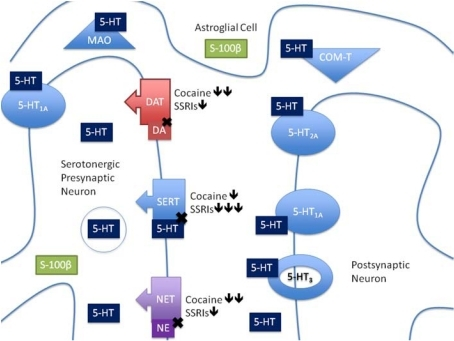 Serotonergic Synapse This Diagram Shows A Serotonergic Open I