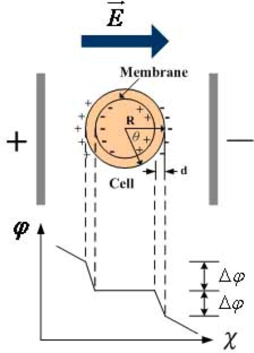 Electroporation potential of external electric field.