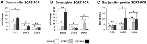 Expression of junction proteins in EBS-DM cell lines.A. SQRT-PCR of desmocollin mRNA expression in NEB-1, KEB-7 and EBDM-1 (n = 3 to n = 4). DSC1 shows the highest increase in both EBS-DM cell lines. DSC2 and DSC3 are increased only in EBDM-1 but not in KEB-7. B. SQRT-PCR of desmoglein mRNA expression in NEB-1, KEB-7 and EBDM-1 (n = 3 to n = 5). DSG1 shows the highest increase in EBDM-1. Only a slight increase was observed for DSG3. DSG4 is only significantly increased in KEB-7. C. SQRT-PCR of gap junction protein mRNA expression in NEB-1, KEB-7 and EBDM-1 (n = 3 to n = 5). GJA1 and GJB6 expression is increased in both EBS-DM cell lines. GJB2 is only increased significantly in KEB-7. Student's t-test was performed with p values: * ≤0.05, ** ≤0.01, *** ≤0.005, ‡ = no significant difference between investigated cell lines.