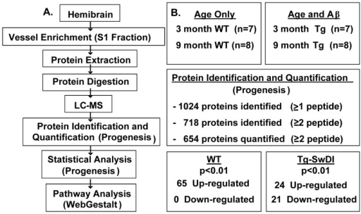 Proteomic design and workflow.(A) Vessel enriched fractions were collected from 3 month-old and 9 month-old WT and 3 month-old and 9 month-old Tg-SwDI mice for proteomic analysis. (B) Over 1,000 proteins were identified, with over 70% being identified by more than two peptides. 654 proteins were quantified by at least two peptides and were statistically analysed using Progenesis software. 65 proteins were found to be up-regulated in the WT animals. 45 proteins were found to be up- and down-regulated (21 and 24 respectively) in the Tg-SwDI animals. Those proteins that were found to be significantly different within the respective cohorts were analysed further with WebGestalt web-based software.
