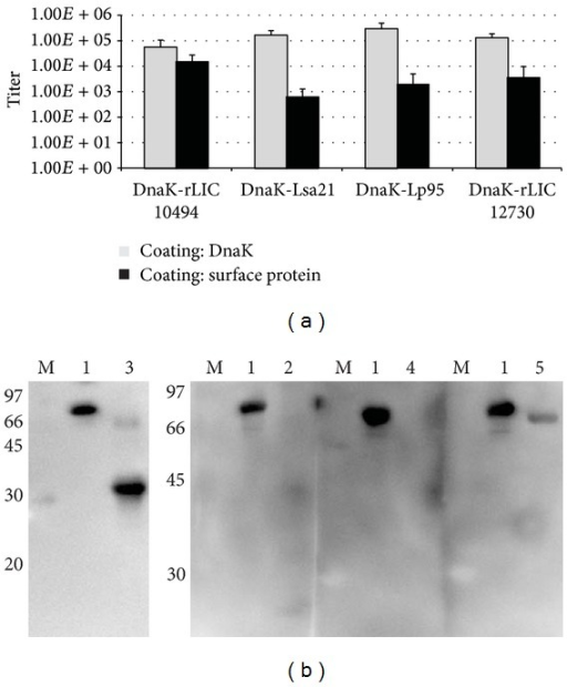 Analysis of IgG production induced in mice by recombinant proteins. The sera from mice immunized with fused-proteins were analyzed by ELISA (a) and Western blotting (b). In (a) wells were coated with DnaK or surface proteins, as depicted; in (b) blotted proteins are DnaK (lane 1), Lsa21 (lane 2), rLIC10494 (lane 3), Lp95 C-terminus region (lane 4), and rLIC12730 (lane 5). M: molecular mass protein marker. In both methods, proteins were probed with the respective antifusion protein serum (1 : 20,000 dilution) and the reactions were developed with HRP-conjugated anti-goat IgG (1 : 10,000) (ELISA) and HRP-conjugated anti-mouse IgG (1 : 5,000) (Western).