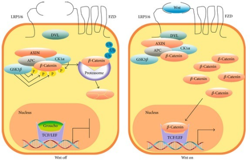 The Wnt/β-catenin pathway. In the absence of stimulus (Wnt off), β-catenin is constantly phosphorylated by CKIα and GSK3β. These phosphorylations constitute a signal for β-catenin polyubiquitination and hydrolysis by the proteasome 26S. In the presence of Wnt protein ligands (Wnt on), the destruction complex constituted by the proteins APC, Axin, CKIα, and GSK3 is inactivated and β-catenin, which is constantly synthetized, accumulates in the cytoplasm and nucleus where it interacts with TCF/LEF transcription factors to enhance expression of specific genes.