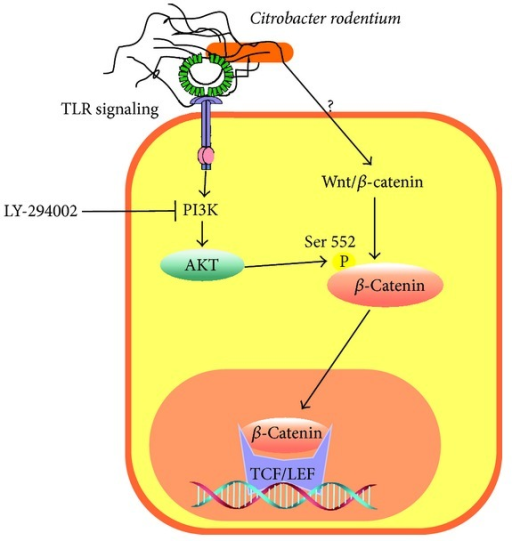 The PI3K/Akt signaling pathway enhances β-catenin activation. In colon epithelial cells infected with Citrobacter rodentium, Akt phosphorylates β-catenin at Ser552. The activation of β-catenin increases c-myc and reduces TNFα and IFNγ expression. An opposite effect is observed in cells incubated with the PI3K inhibitor LY294002.