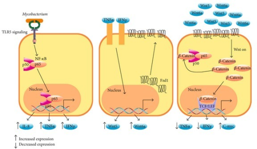 Frizzled receptors reduce inflammation. In epithelial cells and macrophages, Mycobacterium tuberculosis induces NF-κB-dependent expression of IL-8, TNFα, and IFNγ (left panel) through TLR signaling. In turn, TNFα and IFNγ stimulation increases Fzd1, Wnt6, and Wnt5a expression at the membrane cell surface (middle panel). Finally, the binding of Wnt3a, Wnt5a, or Wnt6 to Fzd1 (right panel) induces stabilization of β-catenin, inhibiting the NF-κB pathway. This interaction of β-catenin with NF-κB decreases the expression of proinflammatory molecules such as TNFα.