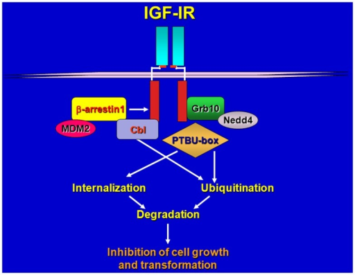 Schematic draws of IGF-IR regulation by various ligases and adaptors. Upon ligand-stimulation ubiquitin ligases complex with the IGF-IR either directly or through adaptor proteins, promoting receptor ubiquitination, internalization, and sorting for degradation.
