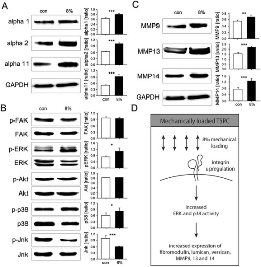 Western blotting analysis for collagen-binding integrins, integrin-downstream kinases and matrix metalloproteinases upon 8% mechanical stimulation of TSPC. (A) Collagen I-binding integrins α1, α2 and α11 (ratio to GAPDH protein expression); (B) Phosphorylated and total levels of FAK, ERK, Akt, p38 and Jnk (ratio phospho-/total protein); (C) MMP9, 13 and 14 (ratio to GAPDH). (D) Schematic summary of the changes occurring in TSPC upon 8% biaxial mechanical loading. Data is representative of 3 donors, each used in 3 independent experiments; *p < 0.1, **p < 0.05, ***p < 0.01.