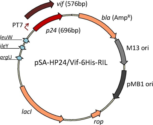 Schematic representation of expression vectors pSA-HP24/Vif-6His-RIL.Map shows the vector containing HIV-1 p24 or vif genes cloned downstream T7 promoter.