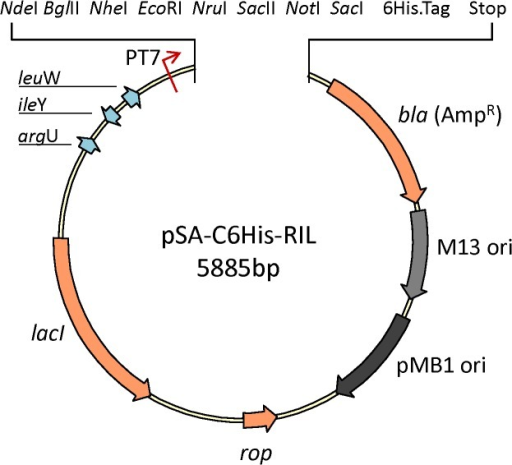 Schematic representation of expression vectors pSA-C6His-RIL.Map shows multiple cloning site with eight unique restriction enzyme sites for facile cloning of heterologous genes.