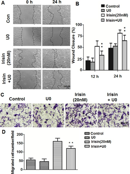 Effect of the ERK inhibitor on irisin-induced cell migration of HUVEC.(A) and (C) HUVEC were pretreated with the ERK inhibitor U0126 (10 μM) for 30 min and cultured with or without irisin (20 nM) for 24 h, images of wound-healing assays and Transwell assays were taken at 0 and 24 h. (B) Percent wound closure at 12 and 24 h after scratch is shown (n = 5). (D) The number of cells that migrated to the lower side of the membranes after incubation for 24 h are shown and relative migration was quantified using Image-Pro Plus software (n = 5). Data are mean± SE. ** P< 0.01 vs. irisin-treated group, determined by unpaired two-tailed Student's t-test.