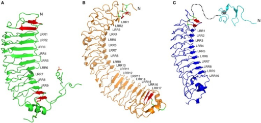 Structures of ectodomains of members of the LGR family. (A) The type A member FSHr (PBD: 4AY9) shows nine LRRs. LRR1–6 show a shallow curvature while the dominance of LP motifs in the convex side of LRR7–9 results in a steep curvature. The ligand shows interactions to most of the LRRs, especially LRR1–5 and LRR7–9 (B) The type B member LGR4 (PDB: 4KT1). The concave side of the LRR protein is separated into two sheets, LRR1–10 and LRR11–17, due to the absence of the conserved Asn residues within the LRR motif of LRR11 and 12. The ligand binds to the first sheet, making contacts with residues in LRR1, LRR3–9. (C) A homology model of the ECD of the type C member RXFP1. The 10 LRRs are predicted to form a shallow curvature. The ligand, H2 relaxin, is expected to bind to LRR4–6 and LRR8. The structure of the N-terminal LDLa module (PDB: 2JM4) for this ECD is also shown, although the structure of the linker that joins to the LRR domain remains unknown. In each structure, additional β-strands (red), which are integral to the domain, are shown but these strands typically lack the xLx portion of the LRR motif, and usually include disulfide bonds characteristic of the N- and C-terminal capping motifs. At the N-terminal end of each LRR domain, an antiparallel β-strand followed by a β-strand parallel to the remainder of the LRR is observed. At the C-terminal end, significant differences for the three members are observed. For FSHr, a large hinge containing a functionally important sulfated Tyr residue is present; for LGR4, this hinge is absent, but a typical CF3 capping motif is present; for RXFP1, the C-terminal cap does not appear conserved, the hinge is short, and therefore, the structure of this region is difficult to predict.