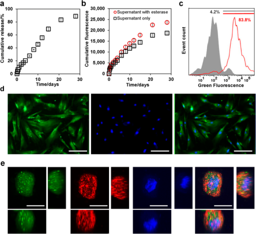 Viability nanosensors for labeling mesenchymal stem cells (MSCs).(A) Cumulative release of CAM from nanosensors over 28 days in PBS at 37 °C. (B) Fluorescence signal of supernatants in A before and after the esterase treatment. (C) Flow cytometry analysis of MSCs before (grey) and after (red) the labeling with 3 mg/ml viability nanosensor. (D) Nanosensor labeled MSCs stained with Hoechst 33342 (from left to right: nanosensors, nuclei, merged image). Scale bars are 100 μm. (E) Confocal images of nanosensor labeled MSCs stained with DiI and Hoechst 33342 (from left to right: nanosensors, plasma membrane, nuclei, merged image); Z-projection (main), YZ-plane (right), XZ-plane (below). Scale bars are 20 μm. Values are mean ± SD, N = 4.