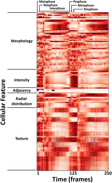 Heatmap of high-content cellular time-lapse measurements. The per-nucleus measurements from a Drosophila time-lapse movie are averaged over all nuclei for each timepoint; the measurements were collected by CellProfiler software. Feature values were normalized from 0 to 1 for visualization purposes. Feature names were omitted for conciseness but are provided in the Tracer display; the features shown are listed in order in the Additional file 3: Table S1, and are further described in the CellProfiler documentation