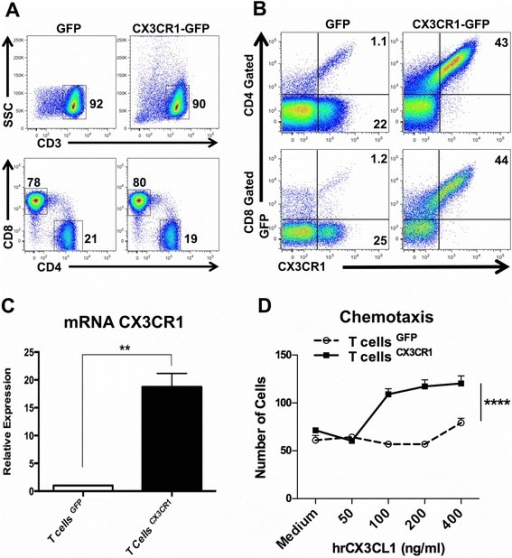 Transduction of the CX3CR1 receptor in human T cells and functional validation. a Population of CD3+ and of CD4+/CD8+ T cells post retroviral transduction of eGFP/CX3CR1 or -eGFP gene after 10 days of in vitro culture with hIL-2 medium. b Representative flow cytometry plot showing the transduction efficiency in eGFP or CX3CR1-eGFP in human T cells. Cells were gated on live cells followed by subsequent gating on CD3, CD4 and CD8 positive T cells. c mRNA expression of CX3CR1 in transduced CD3/IL-2 activated human T cells (Bars, Triplicates +/−SEM *P < 0.05, **P < 0.01 for difference between eGFP and CX3CR1-eGFP-T cells (Student's t test). d Transwell migration assay of eGFP-T cells or CX3CR1-eGFP T cells in response to different concentrations of rhCX3CL1, ****P < 0.0001, Two-way ANOVA