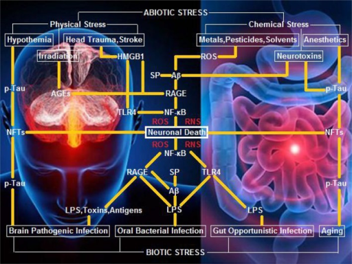 A hypothetical schematic of biotic/abiotic stress-triggered AD. Biotic stress from brain, oral, or gut infection can activate NF-κB-primed neuroinflammatory cascades, elicit ROS/RNS burst, and kill neurons and glia via LPS-TLR4/RAGE and Aβ/SP-RAGE interactions and subsequent signaling. Abiotic stress encompassing physical stress (e.g., head trauma, stroke, or irradiation) and chemical stress (e.g., metals, pesticides, solvents, or neurotoxins) can also activate NF-κB-primed neuroinflammatory cascades, elicit ROS/RNS burst, and kill neurons and glia via AGEs-RAGE, HMGB1-RAGE/TLR4, and Aβ/SP-RAGE interactions and downstream signaling. Hypothermia, anesthetics, and aging, can exert a neurotoxic effect upon exposure of neurons and glia to NFTs (the background figure was adopted from the website https://zhidao.baidu.com/daily/view?id=5979).