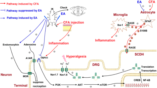 Schematic illustration of neuronal and non-neuronal mechanisms in EA-mediated analgesia of CFA-induced inflammatory pain.Summary diagram of how astrocyte, glial cells, and TRPV1 is crucial for inflammatory pain and related mechanisms. Our results show that EA can reduce S100B release from non-neuronal cell. We also indicated that EA can trigger the release of opioid and adenosine receptors for relieving inflammatory pain through TRPV1 pathway.