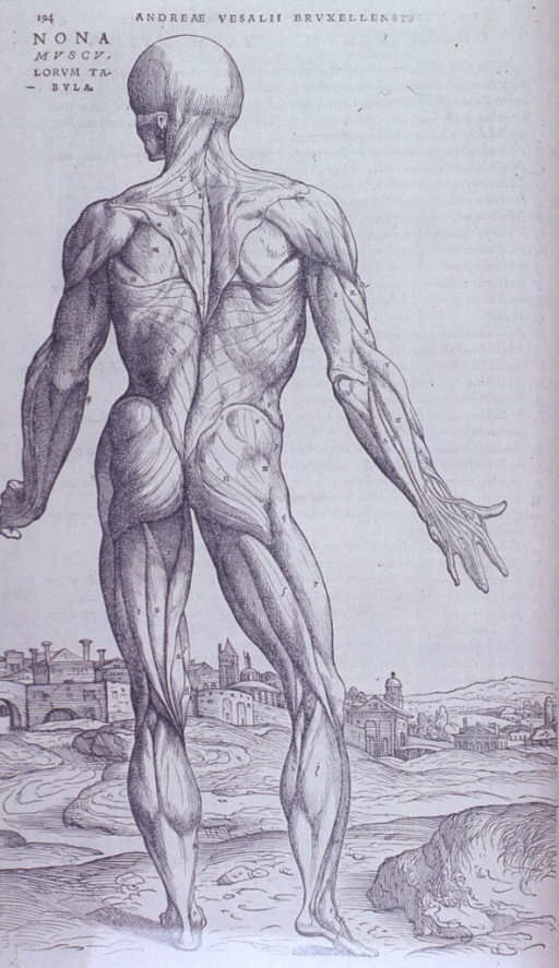 <p>Full body, back view of muscles. Right and left arms are extended downward.  Head is turned to the left.</p>