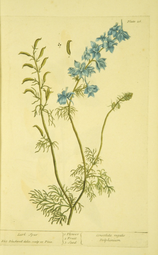 <p>Illustration of the flower, fruit, and seed of a larkspur plant.</p>