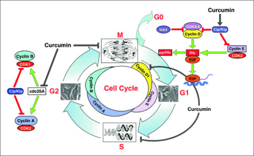 The cell division cycle and its control. The cell cycle is divided into four distinct phases (G1, S, G2, and M). The progression of a cell through the cell cycle is promoted by CDKs, which are positively and negatively regulated by cyclins and CKis, respectively. As shown, cyclin D isoforms interact with CDK4 and CDK6 to drive the progression of a cell through G1. Cyclin D/CDK4,6 complexes phosphorylate pRb, which releases E2F to transcribe genes necessary for cell cycle progression. The association of cyclin E with CDK2 is active at the G1-S transition and directs entry into S-phase. The INK4s bind and inhibit cyclin D-associated kinases (CDK4 and CDK6). The kinase inhibitor protein group of CKi, p21Cip1/Waf-1, p27Kip1, and p57Kip2, negatively regulate cyclin D/CDK4,6 and cyclin E/CDK2 complexes. S-phase progression is directed by the cyclinA/CDK2 complex, and the complex of cyclin A with Cdk1 is important in G2. CDK1/cyclin B is necessary for the entry into mitosis. Curcumin modulates CKis, CDK-cyclin and Rb-E2F complexes to render G1-arrest and alters CDK/cyclin B complex formation to block G2/M transition.