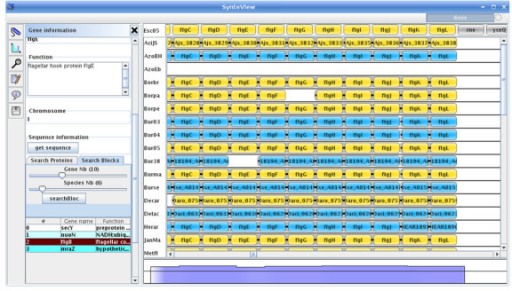 SynteView main window. The SynteView main window consists of a menu bar, a toolbar (on the left), a central panel which displays synteny relationships between a reference species and the compared ones, and a bottom panel, which shows the extent to which the reference species genes are conserved in blocks found in other species.