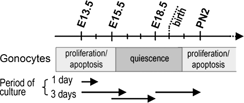 "Schematic representation of the development of gonocytes during mouse fetal and neonatal life in relation to the timing and duration of the organ cultures as described in ""Material and Methods."""