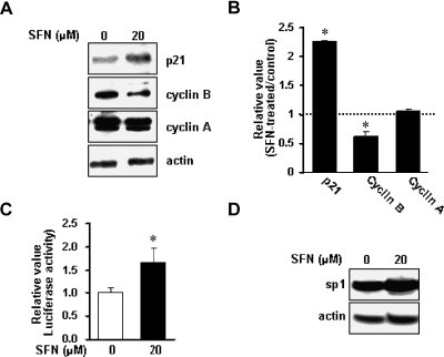 Effects of SFN on the levels of the proteins involved in the regulation of G2/M transition. (A) immunoblotting for p21, cyclin B and cyclin A using lysates from control and SFN-treated KB cells. (B) The data points in the graph are the mean ± SD of three independent experiments. *p<0.05 compared to the control group. (C) Transactivation activity of pWWP (p21 promoter construct) induced by SFN in KB cells. (D) immunobloting for sp1 protein using lysates from control and SFN-treated KB cells.