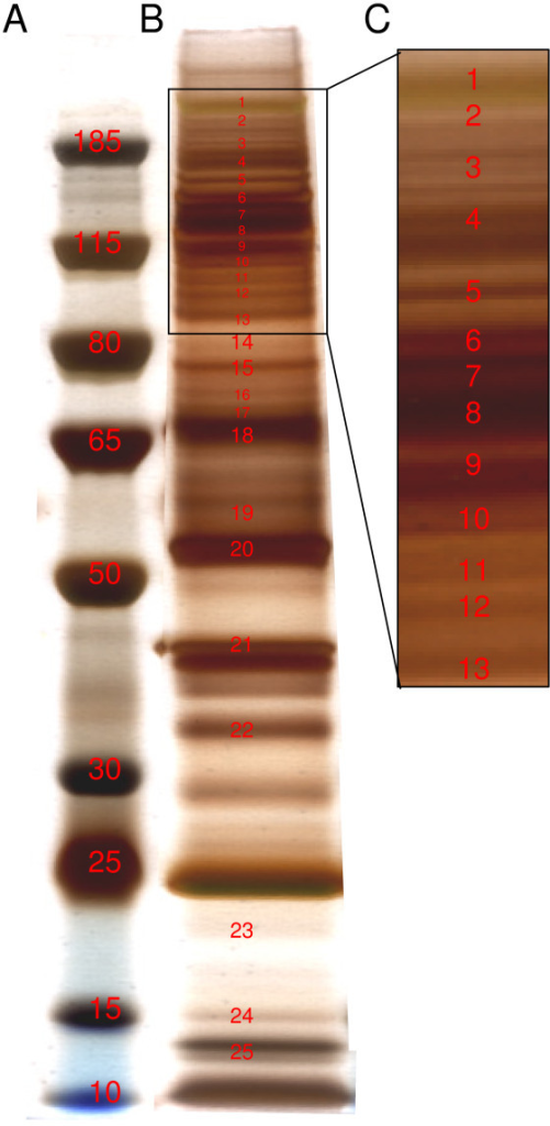 Identification of most abundant phosphorylated proteins. (A) Molecular weight markers. (B) Silver staining of anti-p-Tyr affinity-purified proteins. Protein extracts were incubated with anti-p-Tyr agarose-conjugated antibody. Bound proteins were washed, eluted, and resolved by 4-12% SDS-PAGE. Proteins identified are indicated in red and listed in Table 1. (C) Gel zone most abundant in phosphotyrosine proteins.