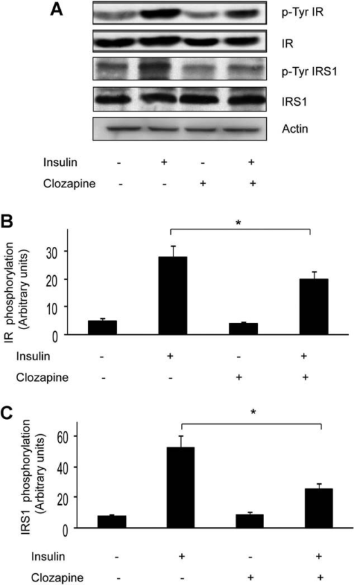 Effect of clozapine on insulin receptor activity in L6 cells. L6 cells have been incubated with clozapine 1.5 µM for 24 h and with insulin 100 nM for further 30 min. A: Protein extracts were immunoprecipitated with anti-IR (α-subunit) and IRS-1 antibodies, subjected to Western blotting with antiphosphotyrosine (p-Tyr), IR (β-subunit), and IRS-1 antibodies, as indicated. Total cell lysates were also blotted with antiactin antibodies to ensure equal amounts of cellular proteins. The blots were revealed by ECL and autoradiography. The blots shown in (A) are representative of four independent experiments. B,C: Bars represent the means ± SD of the ratio of the densitometric values obtained for phospho- and total antibodies. The significant differences, were determined by ANOVA. Positive samples were further analyzed by Student–Neuman–Keuls post hoc test to determine the specificity of the effect. *P < 0.05.