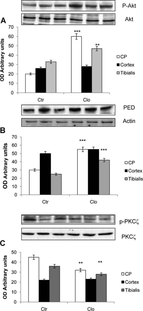 Clozapine effect in caudate–putamen, cortex, and tibialis muscle. Two groups of eight mice were treated once a day for 21 days with single injection of saline, and clozapine (10 mg/kg). A: Phospho-Ser-473 Akt (pAkt), (B) Ped/Pea-15, and (C) phospho-PKC-ζ (p-PKC-ζ) levels were measured in caudate–putamen (CP), cortex, and tibialis muscle, 30 min after the last injection of clozapine or saline. Equal loading of the samples was ensured by control blot with antiactin antibodies. Phosphorylated Akt and PKC-ζ were expressed as ratio with total Akt and total PKC-ζ levels, Ped/Pea-15 as arbitrary units derived from densitometric analysis. All values were further normalized on actin values. Significant differences compared to the respective saline-treated control have been indicated by asterisks, **P < 0.01, ***P < 0.001.