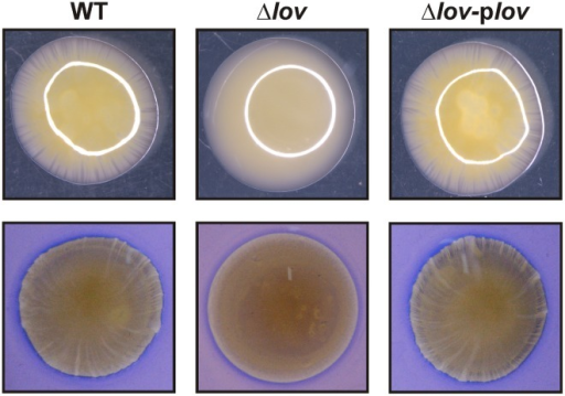 Twitching-like motility of X. axonopodis pv. citri strains.X. axonopodis pv. citri WT, Δlov and Δlov-plov strains were stab-inoculated on SB-1% w/v agar plates and grown for two days at 28°C. To analyze the borders of the migration zones, the plates were observed under a magnifying glass (10X), prior (upper panels) and after (lower panels) staining with Coomassie Brilliant Blue R250.