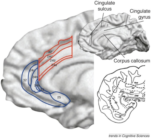 The anterior cingulate cortex (ACC) is subdivided into | Open-i