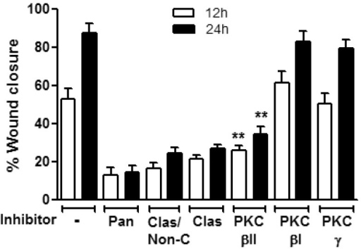 PKCβII mediates PMA induced increase in wound closure.Confluent IEC monolayers were wounded by introduction of a single linear scratch wound, preincubated with the specified PKC inhibitors for 1 hour (Cheleretrine, pan PKC inhibitor (5 µM, pan); Calphostin C, Classical/non-conventional PKC inhibitor (10 µM, Clas/Non-C); KIC1-1, classical PKC inhibitor (5 µM, Clas); KIBI31-1, PKCβI inhibitor (1 µM, PKCβI); KIBII31-1 (5 µM, PKCβII); KIG31-1, PKCγ inhibitor (5 µM, PKCβγ) and stimulated with PMA (200nM). The area of the wound was measured at 12 and 24 hours. Inhibition of PKCβII, but not inhibition of other members of the classical PKCs significantly diminished PMA enhanced wound closure. N = 3 independent experiments. **significantly different from control (PMA alone, p<0.01).
