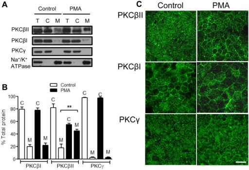 PKCβII translocates to the cell membrane upon PMA treatment.Cellular localization of selected classical PKCs was determined by immnoblotting (A) and densitometric analysis (B) of the total (T), the cytosolic (C), and the membrane (M) fractions in unstimulated (control) and PMA activated (PMA, 200 nM, 4 h) IECs. **significantly different (p<0.01). N = 4 independent experiments. Following PMA treatment PKCβII translocated to the cell membrane, indicative of its activation. (C) PKC isoform localization was also confirmed by immunofluorescence labeling and confocal microscopy. The images show translocation of PKCβII from the cytosol (control) to cell membrane (PMA treatment), and are representative of 3 independent experiments. The bar is 20 µm.