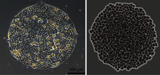 Left: Hepatocytes on collagen (I) spot after 5 days in culture (from Jones et al. 2009). Right Corresponding situation in the monolayer culture system