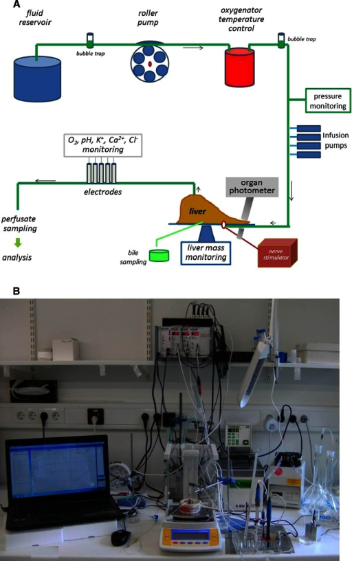 Setup for isolated rat liver perfusion in the open, non-recirculating, constant flow system. a The liver is posted on a balance pan, which allows for continuous monitoring of liver mass. Perivascular nerve stimulation is achieved by means of a platinum electrode placed around the portal vein. b Organ photometry/fluorimetry allows to monitor redox transitions in the NAD(P)H/NAD(P)+ system using nicotinamide nucleotide-specific wavelength pair 350–377 nm
