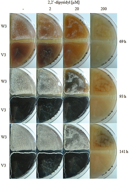 Phenotypic characterization of the desE mutant V3. A total of 106 spores of both the parental strain W3 and the desE mutant V3 were used to inoculate R2YE agar plates with varying concentrations of the iron‐chelator 2,2′‐dipyridyl (0, 2, 20 and 200 µM). The plates were incubated at 30°C and growth was recorded daily for 6 days (141 h).