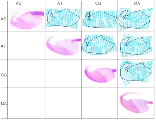 Sperm head mean deformation patterns after standardization to common regularity.TPS deformation grids illustrate mean shape differences by deforming one species average into that of another species. AS, Arvicola sapidus; AT, Arvicola terrestris; CG, Clethrionomys glareolus and MA, Microtus arvalis.