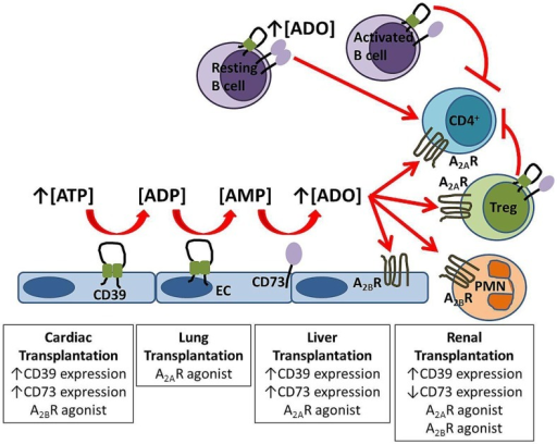 Protective mechanisms in solid organ transplantation. Extracellular adenosine is generated from the enzymatic hydrolysis of nucleotides by the ectoenzymes CD39 and CD73 expressed on endothelial cells (EC) and B cells. Adenosine signals via A2AR on circulating cells including regulatory T cells (Treg) and via A2BR expressed both on the vasculature and inflammatory cells. Experimental strategies which improve graft outcome for each solid organ transplant are listed in boxes.