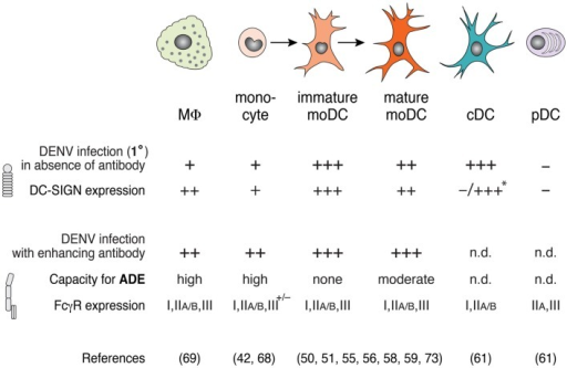 DENV infection varies among macrophages, monocyte, and dendritic cell (DC) subsets in the presence or absence of enhancing antibodies. DC-SIGN expression correlates with high infection in the absence of enhancing antibodies (i.e., 1° infection conditions), whereas FcγR expression modulates antibody-enhanced infection during ADE. Macrophages (MΦ) and monocytes express low levels of DC-SIGN, and show little DENV infection in the absence of enhancing antibody, but are highly infected in the presence of enhancing antibody. Under inflammatory conditions, monocytes differentiate to immature monocyte-derived DCs (moDCs) and, further, to mature moDCs after stimulation via PAMPs or inflammatory cytokines. While immature moDCs express high levels of DC-SIGN and can be infected with DENV in the absence of antibodies, mature moDCs express lower levels of DC-SIGN and show moderate permissiveness under these conditions. Accordingly, mature moDCs show a capacity for enhanced infection in the presence of subneutralizing anti-DENV antibodies. Classical DCs (cDCs) that are freshly isolated from human blood do not express DC-SIGN, but express high levels of DC-SIGN after stimulation with GM-CSF and IL-4 in vitro (*), which renders them highly susceptible to DENV infection without antibody, similar to immature moDCs. Plasmacytoid DCs (pDCs) do not express DC-SIGN or support DENV replication in the absence of antibody. cDCs and pDCs express FcγRs, but DENV infection of cDCs and pDCs during ADE has not been determined (n.d.).