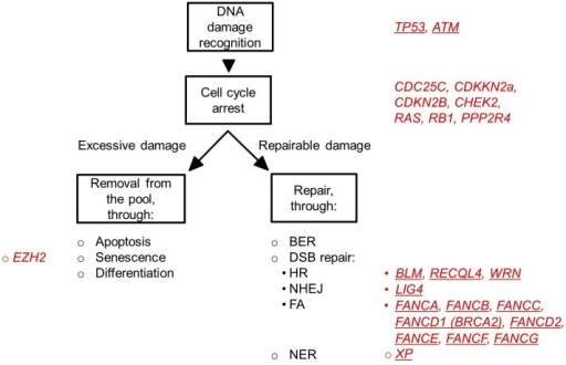 Cellular response to DNA damage. Depicted are the major cellular processes (in black letters) that are initiated after DNA damage. In red are the genes indicated that are related to these processes and that have been found mutated in MDS patients. The underlined symbols indicate genes that are perturbed in hereditary syndromes associated with a high risk of developing MDS (see also Table 1). MDS-associated perturbations in TP53 can be both inherited (Li-Fraumeni syndrome) as well as acquired.