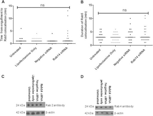 The localization of eGFP-Rab5 to phagosomes containing C. albicans cells is unaffected in Rab14-depleted macrophages. (A) Time taken for Rab5 to be recruited to phagosomes following the engulfment of live C. albicans cells by siRNA-transfected RAW 264.7 macrophages. (B) Duration of Rab5 recruitment to RAW 264.7 macrophages. (A and B) Symbols indicate phagosomes analyzed from at least three independent experiments, with means shown. ANOVA and Bonferroni post hoc tests were carried out. ns, no significant difference. (C and D) J774.1 macrophages transfected with siRNA to knock down Rab14 were lysed, and the protein expression levels of Rab2 (C) and Rab4 (D) were determined by Western blot analysis.