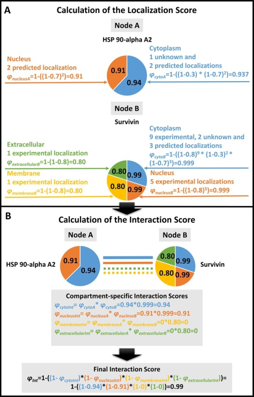 Calculation of the subcellular localization-based ComPPI scores. We illustrate the Localization Score calculation steps on the examples of Heat Shock Protein (HSP) 90-apha A2 and Survivin. HSP 90-alpha A2 has two major subcellular localizations, while Survivin has four (φnucleusA, φcytoA and φextracellularB, φmembraneB, φnucleusB, φcytoB, respectively). Localizations were manually categorized into major localizations before the calculation (see the text in section 'Subcellular Localization Structure' for details). (A) A Localization Score (such as φcytoA) is calculated for every available major subcellular localization for both HSP 90-alpha A2 and Survivin based on the available localization evidence types and the number of the respective localization data entries (corresponding to pLocX and Vrec of Equation (1)). The Localization Score calculation uses the optimized localization evidence type weights of 0.8, 0.7 and 0.3 for experimental, predicted or unknown localization evidence types, respectively. (For details of the weight optimization procedure see section 'Score Optimization' of the main text and Supplementary Figure S6.) The Localization Score (i.e. the likelihood for the respective protein to belong to a major compartment) is represented by the probabilistic disjunction among the different localization evidence types and the number of ComPPI localization data entries of the respective evidence type (Equation (1)). (B) Calculation of the Interaction Score (φInt) is based on the Localization Scores of the interacting proteins. First, Compartment-specific Interaction Scores (such as φcytoInt) are calculated as pair-wise products of the relevant Localization Scores of the two interacting proteins (HSP 90-alpha A2 and Survivin). The final Interaction Score (φInt) is calculated as the probabilistic disjunction of the Compartment-specific Interaction Scores of all major localizations available for the interacting pair of proteins (in the example four major localizations for HSP 90-alpha A2 and Survivin) from the maximal number of six major localizations (Equation (2)).
