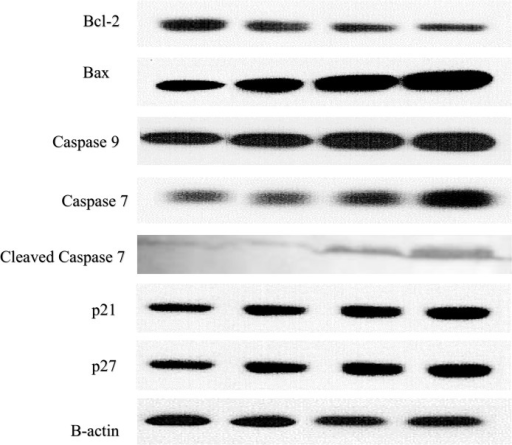 Western blotting analysis of apoptosis and cell cycle-related proteins normalized against the positive control β-actin.Polycerasoidin effects on protein expression of MCF7 treated cells. MCF7 cells were treated with IC50 concentration of polycerasoidin for 12, 24 and 48 h. Total protein were extracted from the cells and western blot was performed. The results showed a downregulation of Bcl-2 and upregulation of Bax, caspase 9, caspase 7, p21 and p27 in polycerasoidin-treated MCF7 cells after 12, 24 and 48 h.