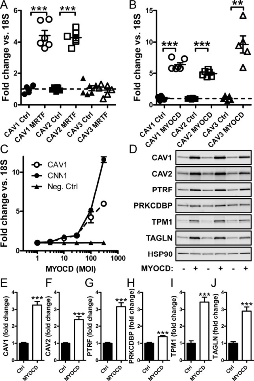 Induction of caveolins by adenoviral transduction of MRTF-A and myocardin.(A) Adenoviral transduction of human coronary artery smooth muscle cells with MRTF-A (MKL1, 20 MOI) increased expression of caveolin-1 and caveolin-2, but not caveolin-3 mRNA compared to empty virus. (B) Transduction of myocardin (MYOCD, 100 MOI) increased mRNA expression of all three caveolins (-1 to -3). (C) A dose-response curve with increasing concentrations of myocardin (1 to 300 MOI) demonstrated a similar threshold of sensitivity of caveolin-1 mRNA to that of the prototypical myocardin target calponin (CNN1). (D) Western blotting of MYOCD-transduced cells demonstrated increases of caveolins and cavins at the protein level. The magnitude of induction was similar to that of the well-established myocardin targets tropomyosin (TPM1) and SM22α (TAGLN). Summarized data from the western blots is shown in panels E through J (n = 8). 18S was used as a house-keeping gene for the qRT-PCR and HSP90 as loading control for western blotting. Data are presented as means±S.E.M. **P<0.01, ***P<0.001.