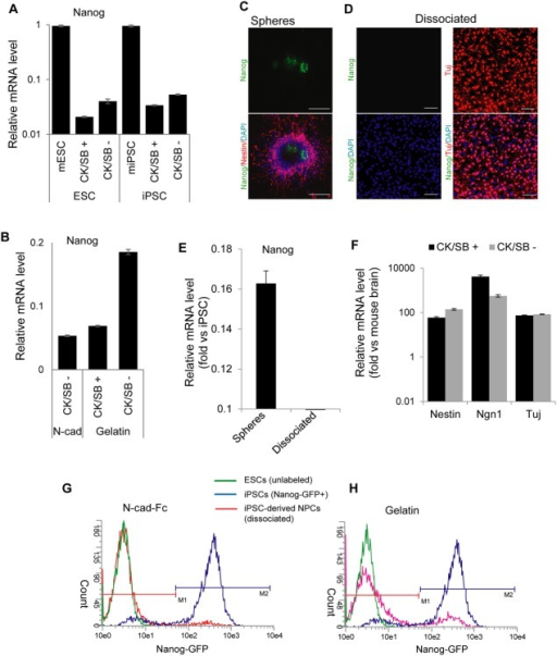 N-cadherin homophilic interaction enrich neuronal cells by eliminating undifferentiated ESCs/iPSCs.(A) The presence of Nanog expression in ESC- and iPSC-derived differentiated cells at 20 days of differentiation, as analyzed by qRT-PCR. Nanog expression was detectable regardless of the presence and absence of CK/SB. (B) qRT-PCR analysis for the expression of Nanog in differentiated cells cultured on N-cad-Fc and gelatin at day 20. (C) Nanog-GFP expressing iPSCs-derived neurospheres generated in suspension with CK/SB were seeded on N-cad-Fc shows the presence of Nanog (green) and Nestin (red) at 7 days of differentiation. (D) iPSC-derived neurosperes grown in suspension with CK/SB were enzymatically dissociated and plated on N-cadherin substrate for 48 h. Fluorescence images shows the absence of Nanog-GFP and the presence of Tuj (red). (E) Different from neurosphere-based differentiation, qRT-PCR analysis shows the absence of Nanog in dissociated cells cultured on N-cadherin for 48 h (total 7 days of differentiation). (F) mRNA expression analysis of Nestin, Ngn1 and Tuj expression in iPSC-derived progeny derived with or without CK/SB. Dissociated cells on N-cadherin substrate were harvested for analysis on 7 days of differentiation. (G, H) FACS analysis of Nanog-GFP expressing iPSCs. Neurospheres on day 5 were dissociated and cultured on N-cad-Fc and gelatin substrate for 48 h before analysis. DAPI shows total nuclei in the field of view. Scale bar: 50 μm.