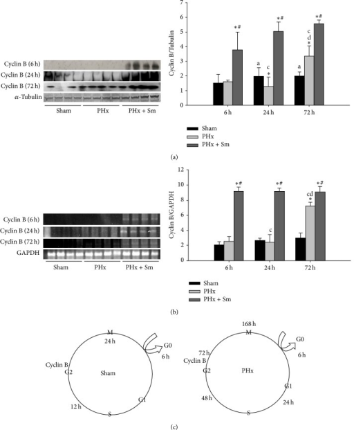 Silymarin accelerates liver regeneration after partial hepatectomy in rats by a mechanism related to G2 phase in cell cycle. (a) Expression protein levels of G2 phase checkpoint protein, cyclin B, were increased in treatment Sm after 6, 24, and 72 hrs of partial hepatectomy (PHx). Quantification of densitometry analysis of protein expression levels. All data are presented as means ± SEM, ∗p < 0.05, as compared with the corresponding sham group. #p < 0.05 as compared with the corresponding PHx. ap < 0.05 as compared with 6 hrs sham group. cp < 0.05 as compared with 6 hrs PHx group. dp < 0.05 as compared with 24 hrs PHx group. α-Tubulin was used as a load control for western blotting. (b) Reverse transcriptase-polymerase chain reaction (RT-PCR) analysis of cyclin B mRNA expression that was increased in treatment Sm after 6, 24, and 72 h PHx. Quantification of densitometry analysis of mRNA expression levels. All data are presented as means ± SEM, ∗p < 0.05, as compared with the corresponding sham group. #p < 0.05 as compared with the corresponding PHx. cp < 0.05 as compared with 6 hrs PHx group. dp < 0.05 as compared with 24 hrs PHx group. GAPDH was used as a load control for RT-PCR. (c) Representative cell cycle in sham and PHx at various times.