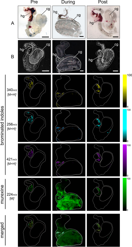DIOS-MSI maps of secondary metabolites imprinted onto pSi from female D. orbita across the reproductive cycle, in positive ion mode at 100 μm spatial resolution.(Pre) representative female section sampled 30 days prior to the breeding season. (During) female section sampled during encapsulation. (Post) representative female section sampled 14 days post encapsulation. Maps are compared to (A) histological sections and (B) scanned tissue sections on pSi prior to removal. Tissue regions include (hg) medial hypobranchial gland and (cg) capsule gland. Ion maps m/z 340 corresponds to tyrindoxyl hydrogen sulfate [M+H]+, m/z 256 to tyrindoleninone [M+H]+, m/z 421 to Tyrian purple [M+H]+, and m/z 224 to murexine [M]+. Scale bar set to 2 mm.