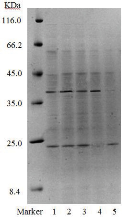 SDS-PAGE of purified fractions of biosurfactant from strain 3B-2 (Lanes 1–3: samples collected on DEAE-FF column, corresponding to three protein peaks in Figure 5; lanes 4 and 5: samples collected on S-100 column, corresponding to two protein peaks in Figure 6).