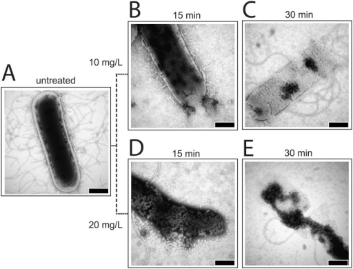 TEM pictures of B. subtilis cells.0.25% phosphotungstic acid at pH 7.3 was used for staining. A. Untreated. B. Treated with 10 mg/L of DR5026 for 15 min. C. Treated with 10 mg/L of DR5026 for 30 min. D. Treated with 20 mg/L of DR5026 for 15 min. E. Treated with 20 mg/L of DR5026 for 30 min. The scale bars in the right-hand corners of the pictures represent 500 nm.